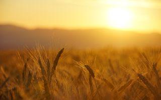 Фото бесплатно поле, пшеница, солнце