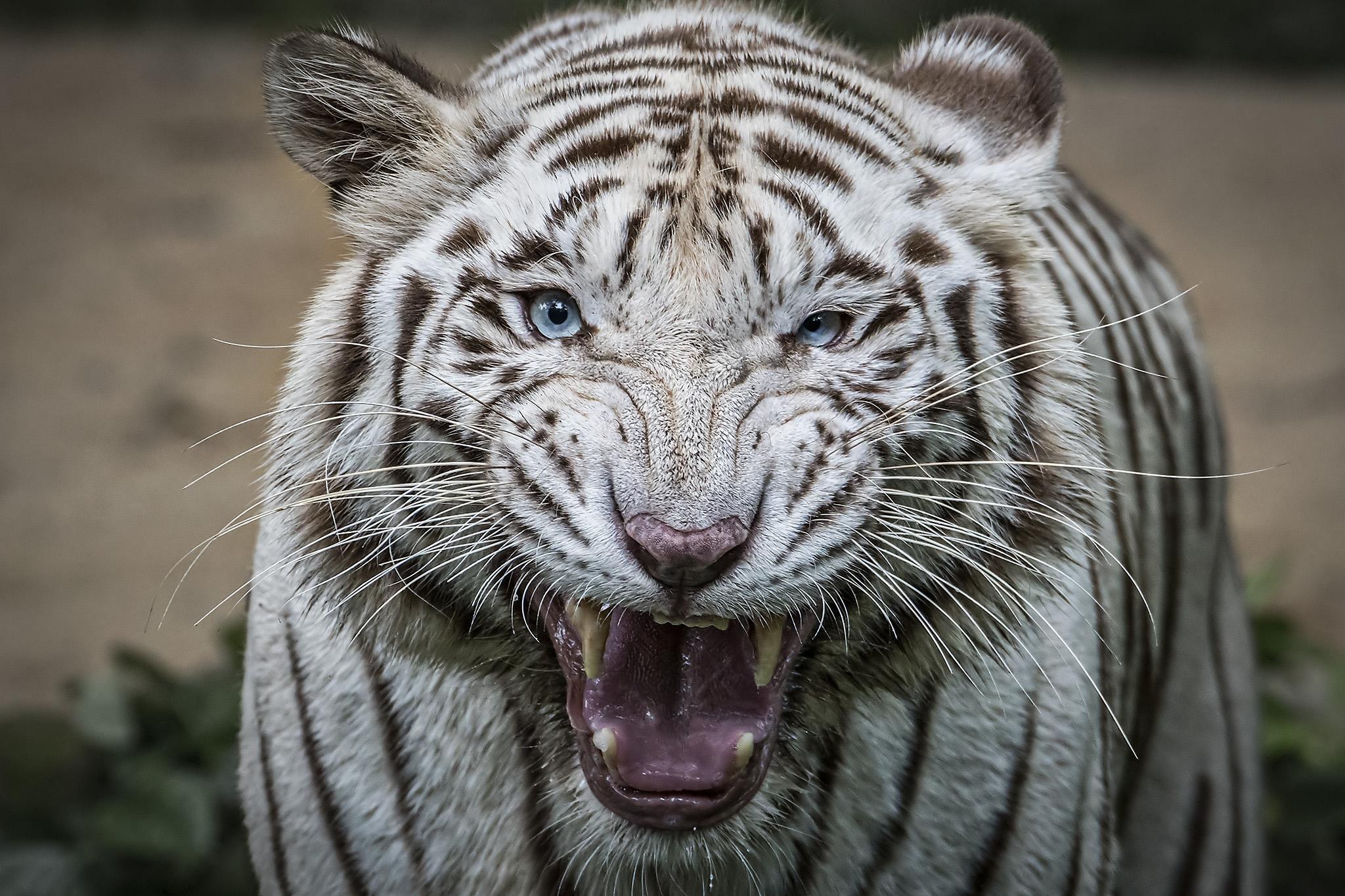 Обои белый тигр, животное, хищник, оскал