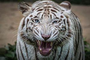 Бесплатные фото белый тигр,животное,хищник,оскал