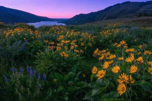 Фото бесплатно Washington, Columbia River Gorge, закат, поле, цветы, пейзаж