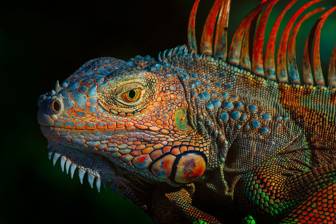 Photos for free Green Iguana, Green iguana, a large herbivorous lizard of the family of iguanids - to the desktop