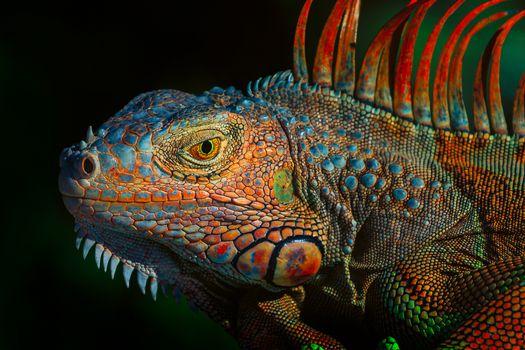 Photo free Green Iguana, Green iguana, a large herbivorous lizard of the family of iguanids