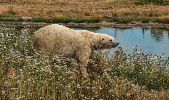 Заставки белый медведь, поле, хищник