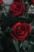 Фото бесплатно роза, цветок, бутон