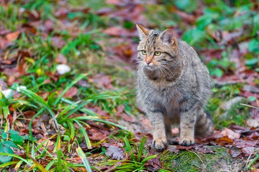Фото бесплатно дикий кот, кошка, животное