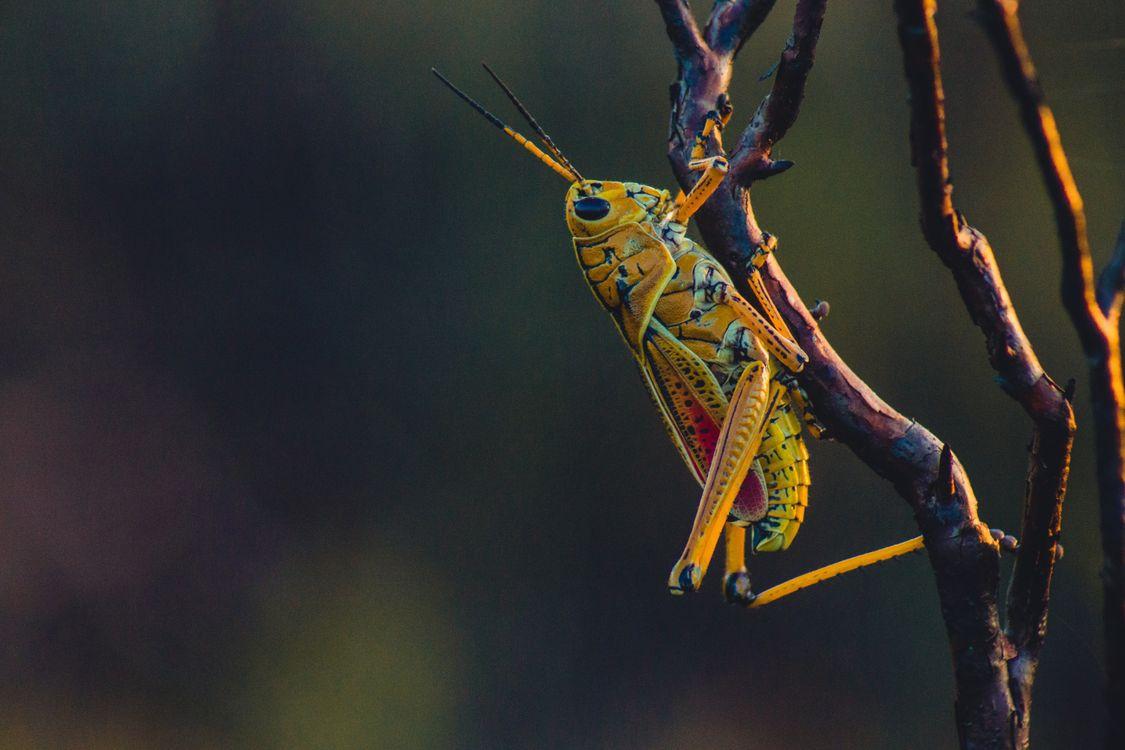 Фото кузнечик ветви восхождение - бесплатные картинки на Fonwall