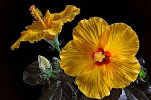 Фото бесплатно Гибискус, Hibiscus, цветок