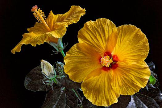 Красивая заставка гибискус, цветы