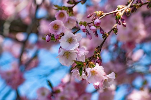 Photo free flora, sakura, bloom