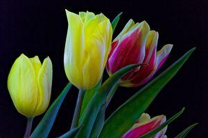 Фото бесплатно тюльпаны, цветы, цветок, чёрный фон, флора, букет