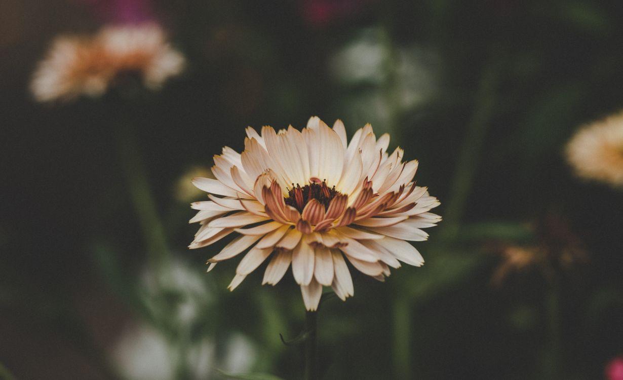 Розовая ромашка · бесплатное фото