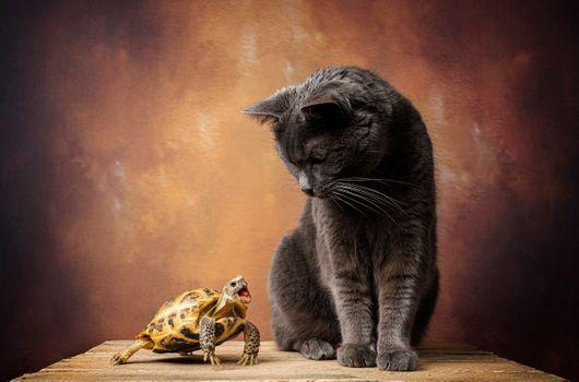 Фото бесплатно котёнок, черепаха, кот