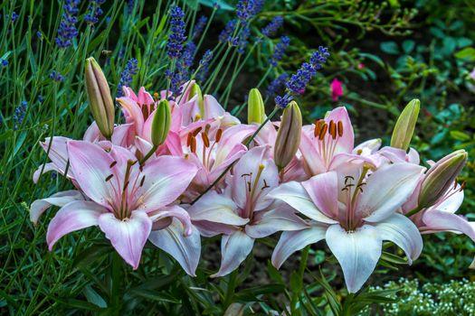 Скачать заставку цветы, лилии