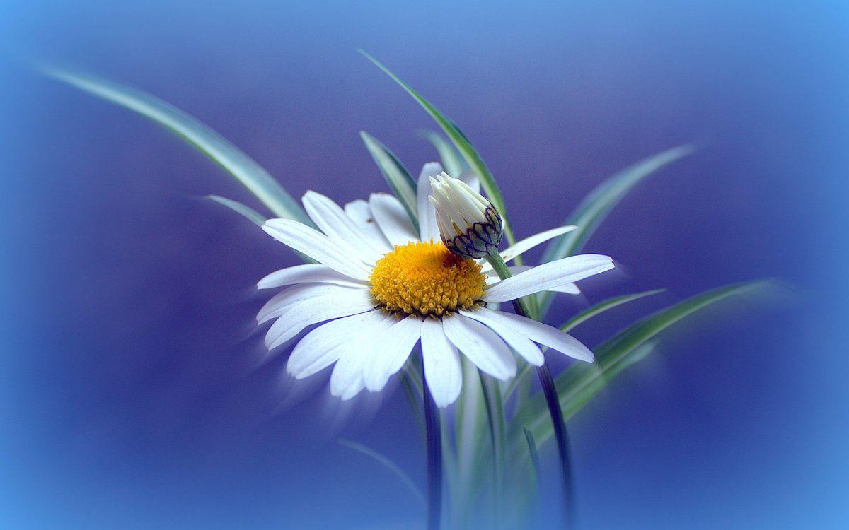 Фото бесплатно ромашка, цветок, флора - на рабочий стол