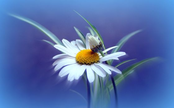 Фото бесплатно ромашка, цветок, флора