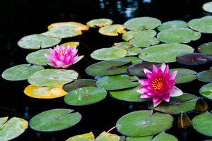 Photo free Water Lilies, flower, flora