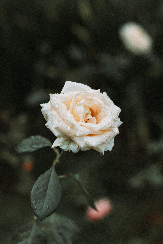 Розы на воде картинки на айфон, вечер картинки смешные