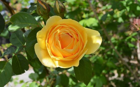 Фото бесплатно солнечный свет, листья, обои желтая роза