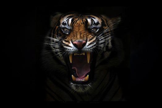 Фото бесплатно черный фон, клыки, хищник