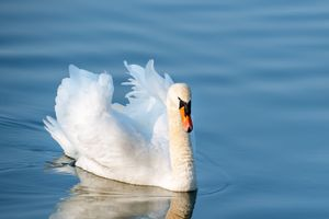 Фото бесплатно животное, птица, лебеди