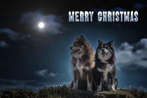 Бесплатные фото Финский Лаппхунд,собака,животное,год собаки,merry christmas