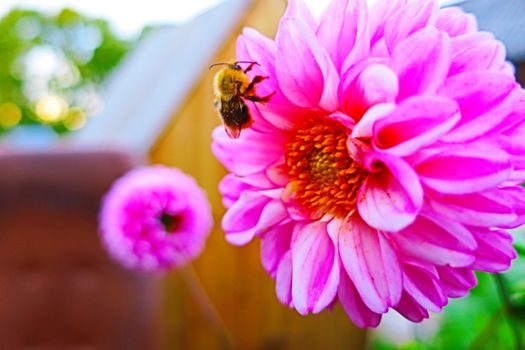 Photo free pink flower, bee, close