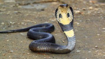 Фото бесплатно змея, дикая природа, гадюка