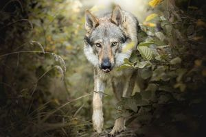 Бесплатные фото Волк,хищник,животное