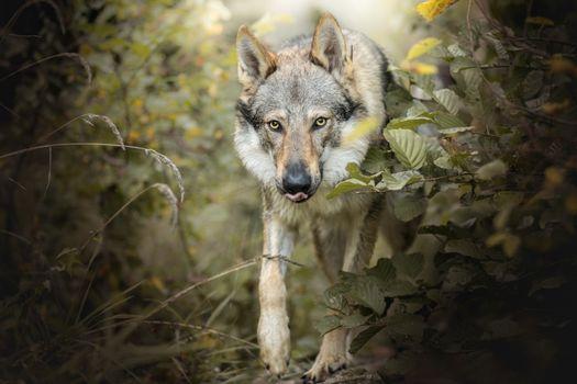 To phone an animal, a predator quality wallpaper