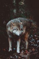 Бесплатные фото волк, хищник, собака, wolf, predator, dog