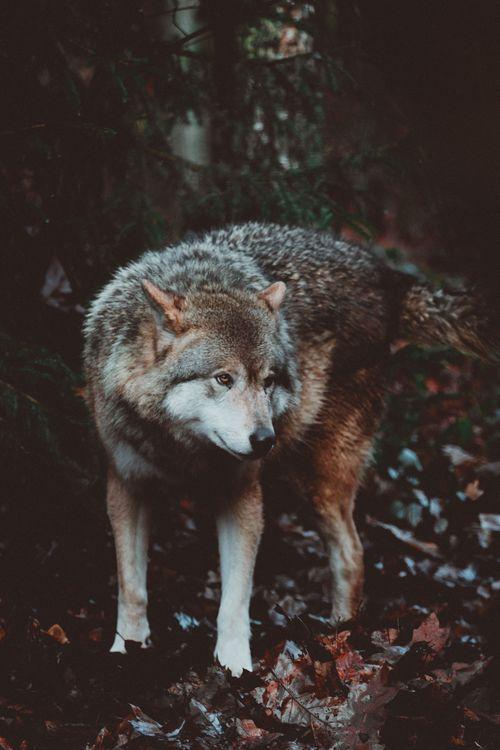 Фото бесплатно волк, хищник, собака, wolf, predator, dog, собаки