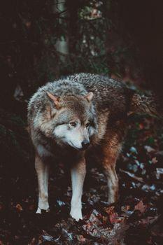 Photo free wolf, predator, dog