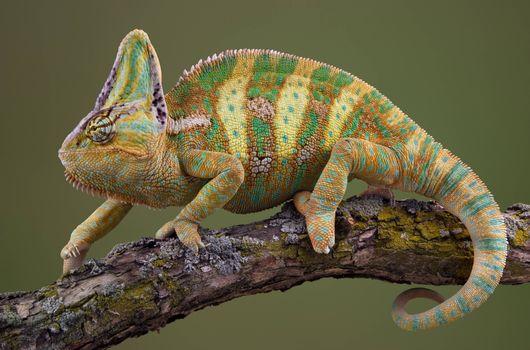 Photo free reptile, chameleon, wood