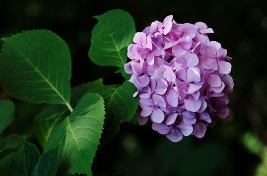 Фото бесплатно Гортензия, цветы, цветущая ветка