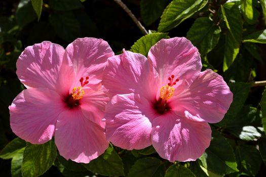 Фото бесплатно цветок, два, розовый цвет