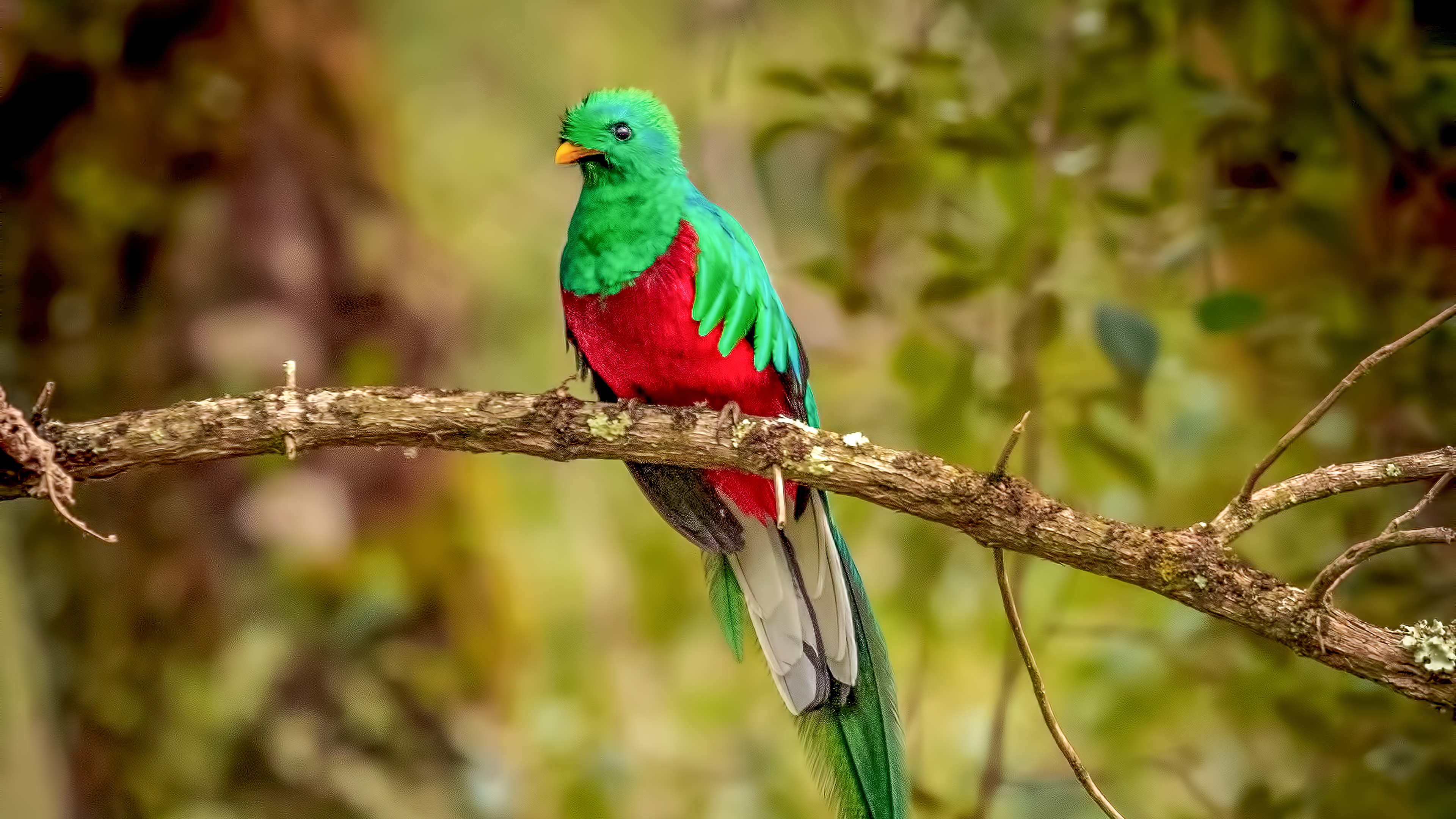 Photos For Free Magnificent Quetzal Symbol Of Freedom Bird To The Desktop