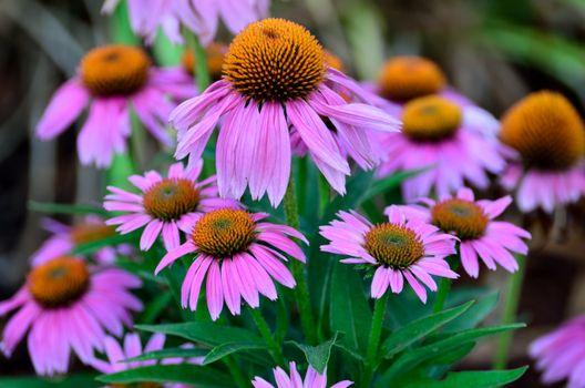 Photo free flowers violet, violet, many
