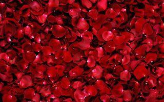 Фото бесплатно Red, Rose, Petals