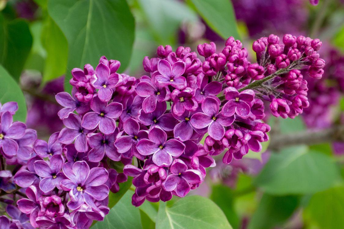 Фото бесплатно сирень, цветы, цветок, цветение, листья, ветка, природа, флора, цветы