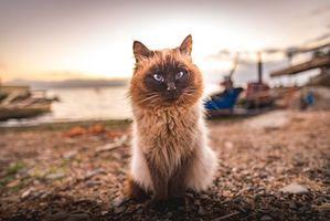 Фото бесплатно сиамский, кот, пушистый