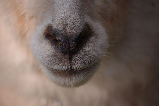 Фото бесплатно морда, макро, бараний нос