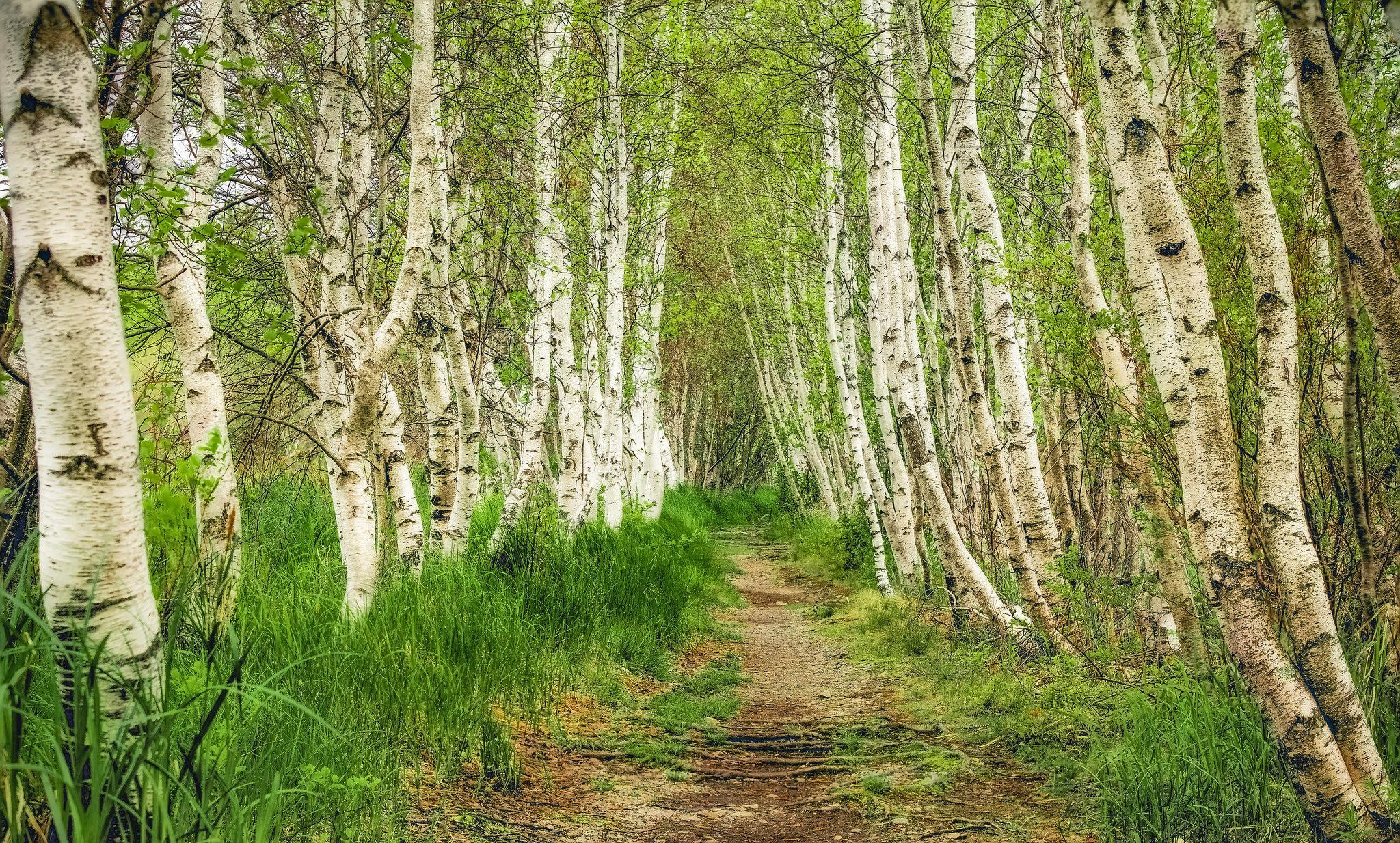 Обои лес, деревья, берёзы, дорога
