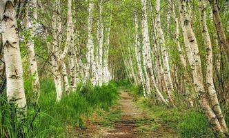 Фото бесплатно лес, деревья, берёзы, дорога, пейзаж, природа
