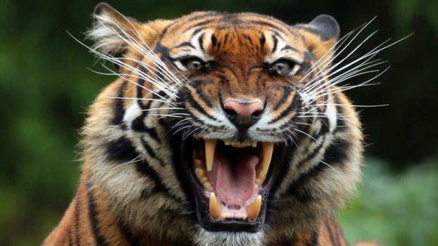 Фото бесплатно тигр, клыки, хищник