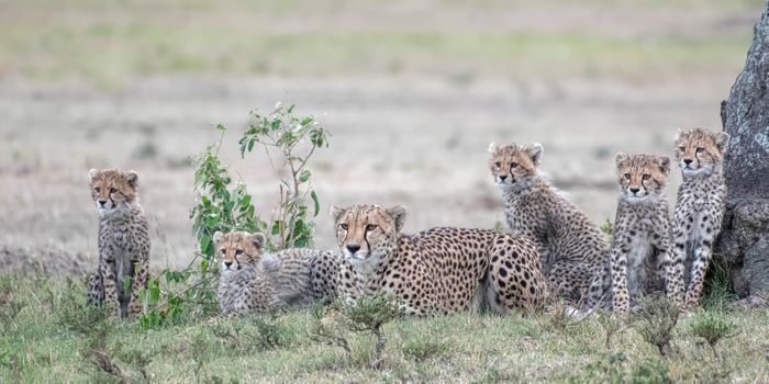 Family of cheetahs at rest