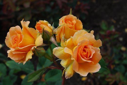 Фото бесплатно роза, в парке, розы
