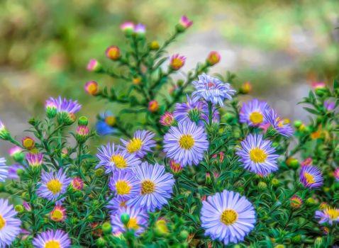 Photo free flowers, Aster perennial Oktyabrina, flora