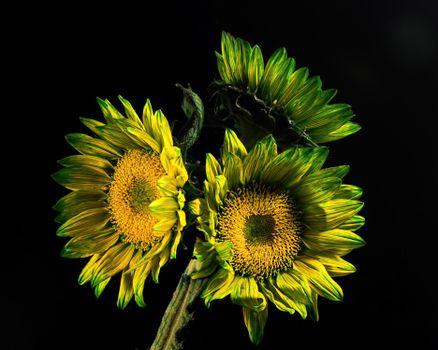 Фото бесплатно цветы, подсолнухи, тройка 3