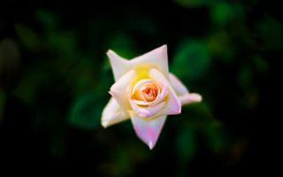 Фото бесплатно розовая роза, лепестки, размытый фон