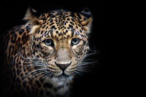 Фото бесплатно Шриланкийский леопард, леопард, портрет